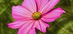 Pink Flower - Digital Art by Matthias Zegveld
